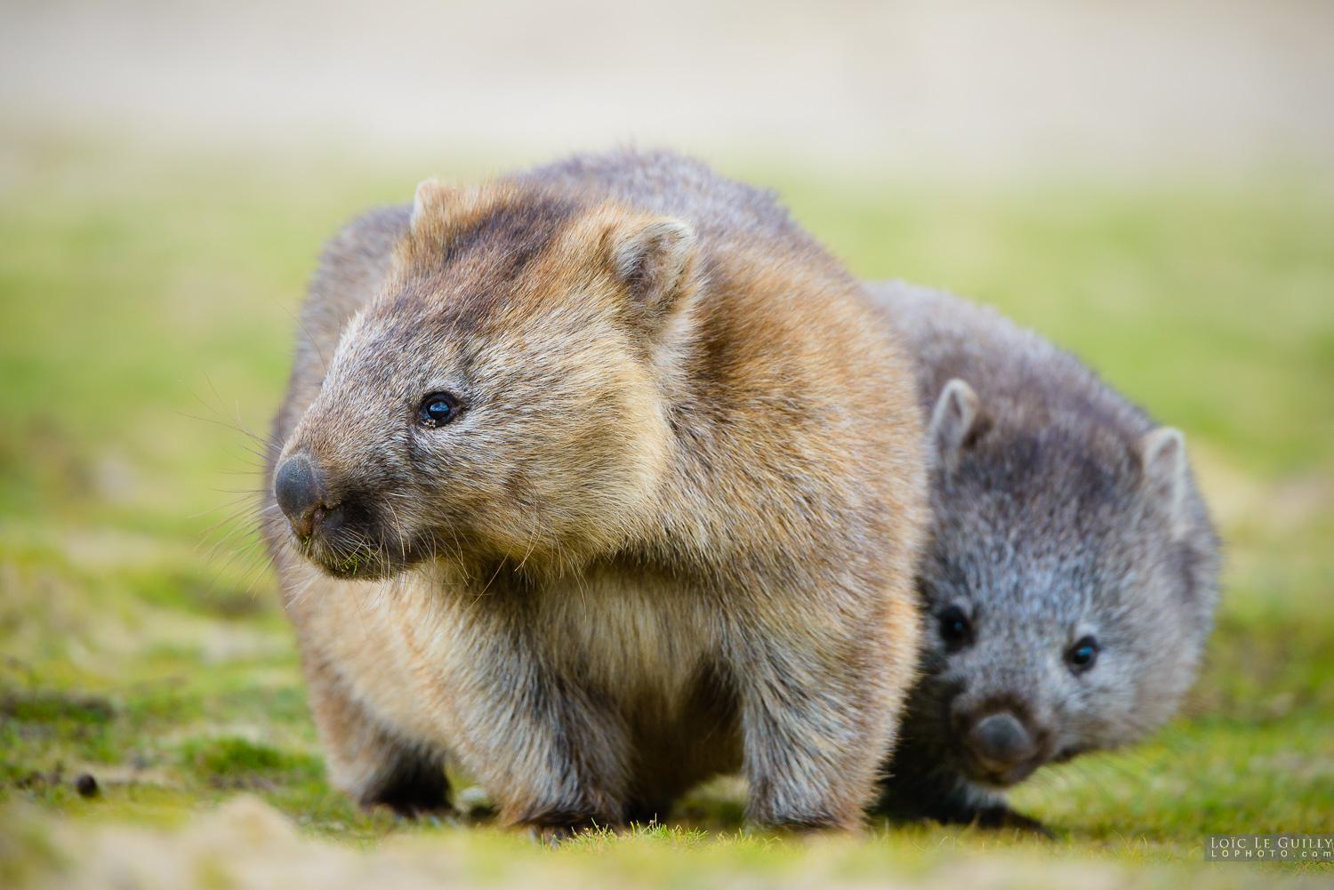 photograph of Baby wombat with mummy