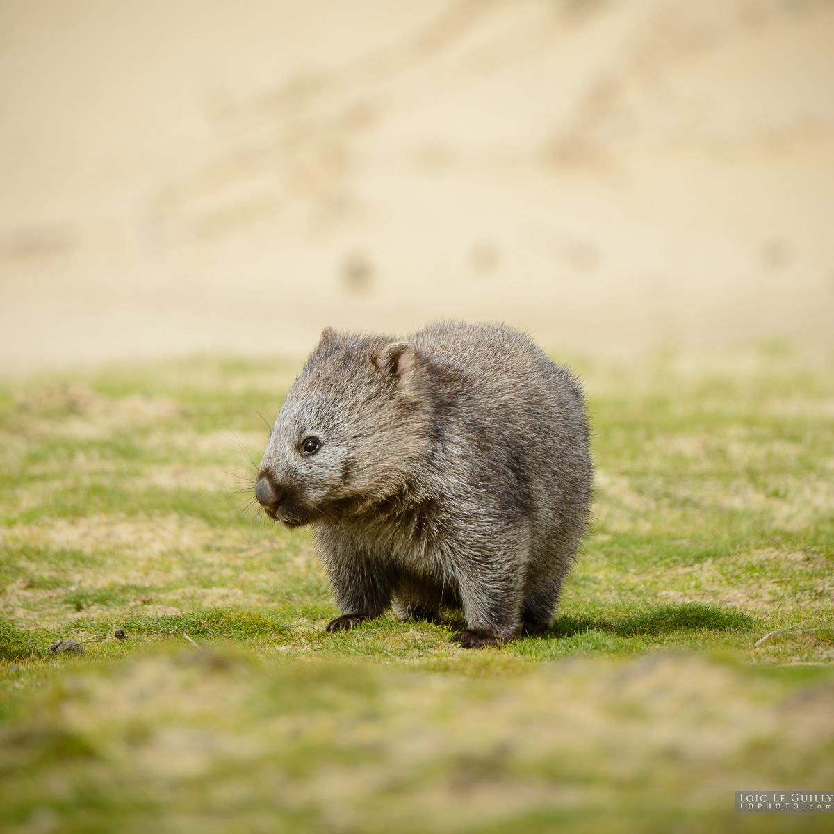 photograph of Baby wombat