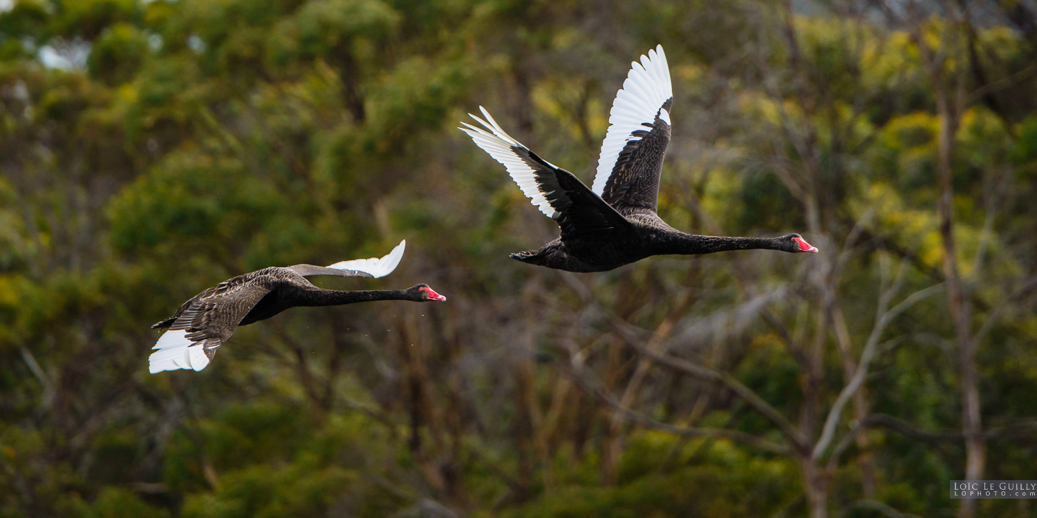 photograph of Black swans flying