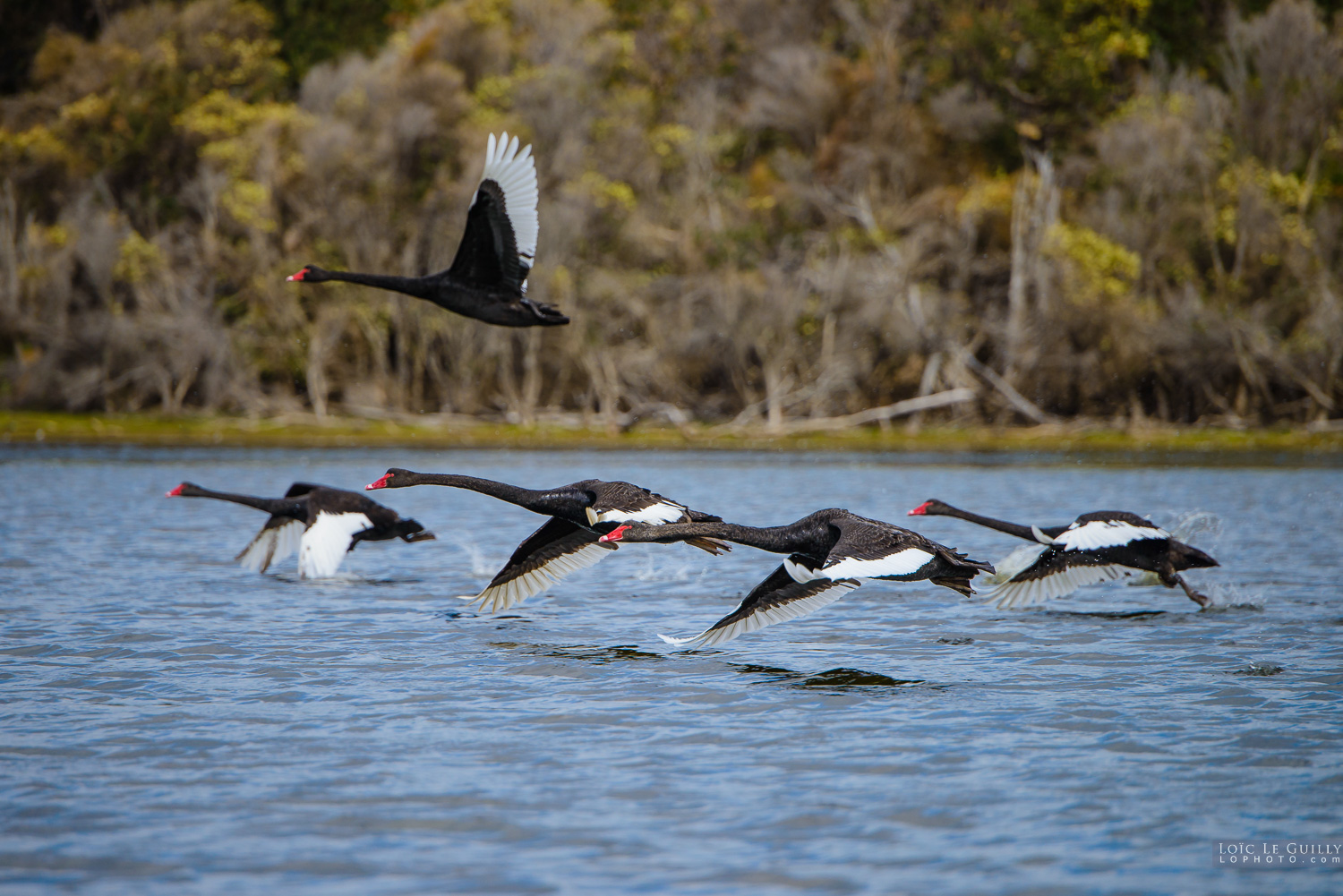 photograph of Black swans taking off