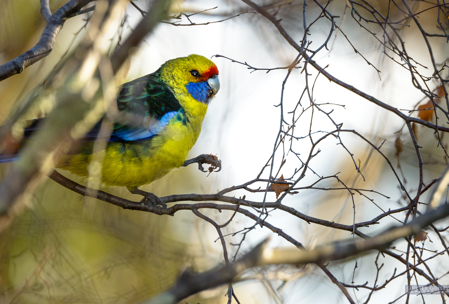photograph of Green rosella near Hobart