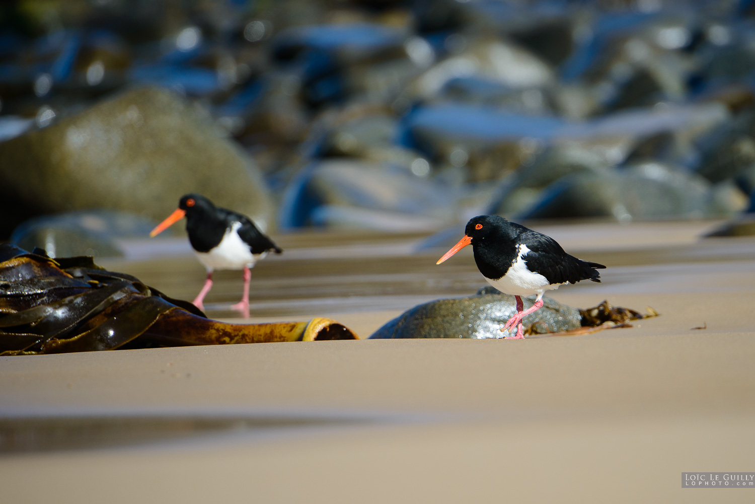 photograph of Oystercatcher on Crescent Bay