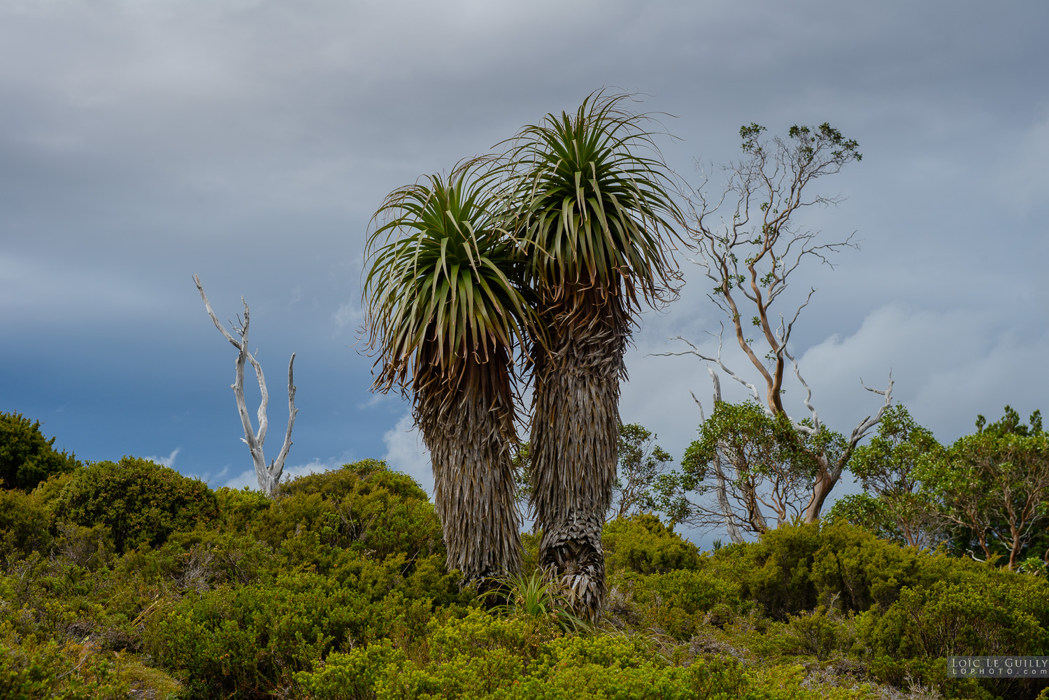photograph of 2 Pandani in Cradle Mountain
