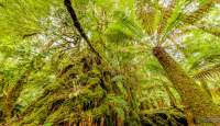 Ancient myrtle and Soft Tree Fern in the rainforest in the Tarkine