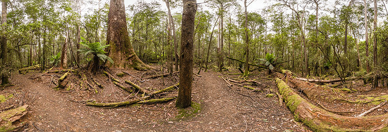 360 panorama of Mount Field Tall Trees