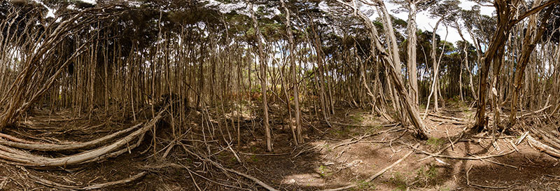 360 panorama of Paperbark forest, Narawntapu National Park